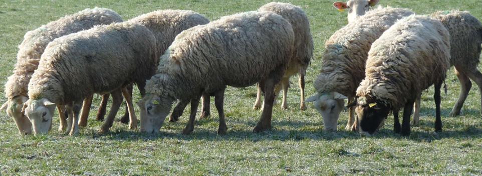 ovins-viande