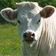produit-vache